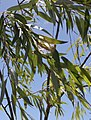 Salix mucronata - Cape Silver Willow - South Africa.jpg