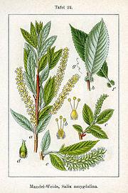180px-Salix_triandra_Sturm24.jpg