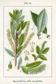 Salix triandra Sturm24.jpg
