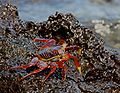Sally Light-foot Crab 2.jpg