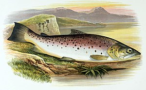 Ferox trout - Image: Salmo ferox