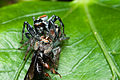 Salticidae Mating Behavior 2, Brazil.jpg