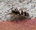 Salticus scenicus III.jpg