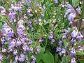 Salvia-Officinalis-Garden-Sage-Subshrub-Lamiaceae.jpg