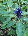Salvia corrugata kz2.jpg