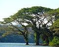 Samanea saman, the Rain Tree of Arbol de Lluvia. (10108424506).jpg