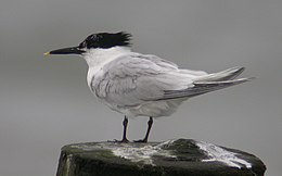 Sandwich Tern perched