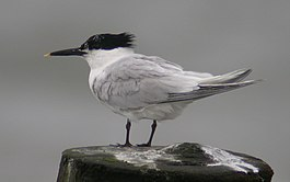 Sandwich Tern perched.jpg