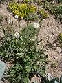 Saponaria bellidifolia 01.jpg