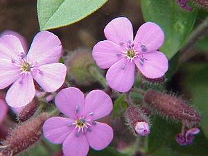 Saponaria - Saponaria ocymoides