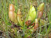 that carnivorous plants are often found in bogs?