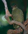 Satin Bowerbird (Ptilonorhynchus violaceus) female (9743759392).jpg