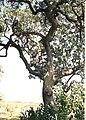 Sausage tree, Botswana.jpg