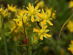 Saxifraga aizoides - Image: Saxifraga aizoides (flowers)