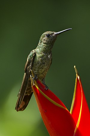 Scaly-breasted hummingbird - Image: Scaly breasted Hummingbird Sarapiqui Costa Rica S4E0291 (26084747394)
