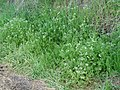 Scandix pecten-veneris habitus at road side.jpg