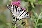 Scarce swallowtail (Iphiclides podalirius podalirius) Italy.jpg