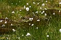Scheiden-Wollgras Eriophorum vaginatum 1.jpg