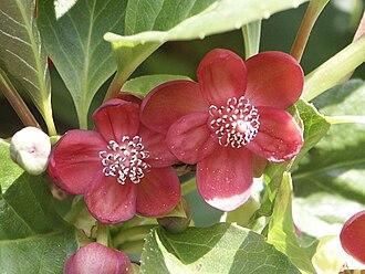 Austrobaileyales - Schisandra rubriflora