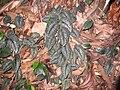 Scindapsus pictus.JPG