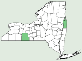Scirpus ancistrochaetus NY-dist-map.png