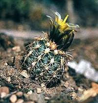Sclerocactus mesae-verdae fh 060 1 COL in cultur B