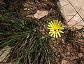 Scorzonera angustifolia2493.JPG