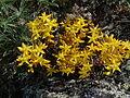 Sedum lanceolatum Upper Ruby River Montana 01.JPG