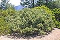 Sedum paradisum Shirtale Peak 016 (8346928074).jpg