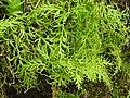 Selaginella-2-thenmalai-kerala-India.jpg
