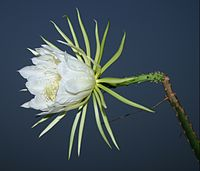 Selenicereus setaceus (Saml-Dyck ex DC.) Werdermann.JPG