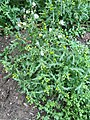 Senecio vulgaris 105328126.jpg