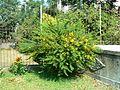 Senna polyphylla (348638199).jpg