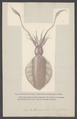 Sepioteuthis - Print - Iconographia Zoologica - Special Collections University of Amsterdam - UBAINV0274 005 09 0044.tif
