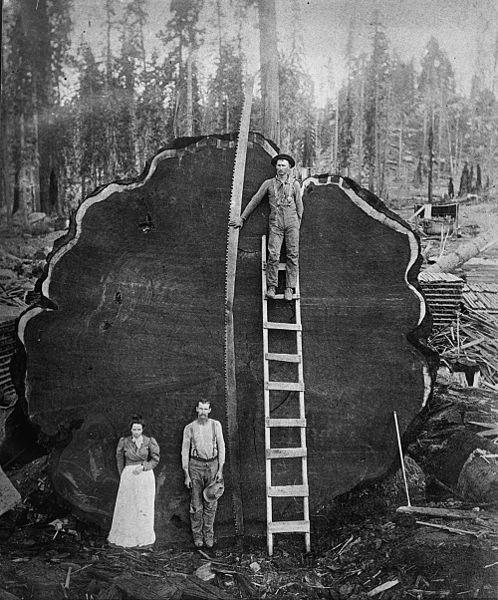 Fotografía antiguas, históricas y poco conocidas 498px-Sequioa_log._Sequioa_National_Park%2C_California%2C_ca._1910._Photographer_unknown._Collection_Library_of_Congress