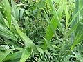Setaria, Hedychium and Sophora (15370023607).jpg