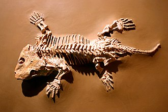 Seymouriamorpha - Skeleton of Seymouria in the National Museum of Natural History