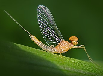Shadfly Mayfly.jpg