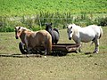 Shetland Ponies - geograph.org.uk - 515334.jpg