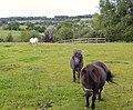 Shetland ponies at Hampton Green - geograph.org.uk - 489625.jpg