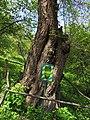 Shevchenko Morus Grishko bot. garden1.JPG