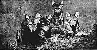 Roosevelt in Africa - A group of golden wolves from the film