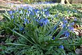 Siberian Squill at Temple Newsam - geograph.org.uk - 1370563.jpg