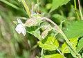 Silene latifolia in Aveyron (4).jpg