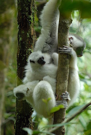 Silky sifaka - Nonmaternal infant care often occurs in silky sifakas. A mother carrying more than her own infant is rare.