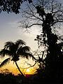 Siluetas de Arbol de Coco y Arbol de Ceiba en un amanecer.JPG