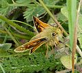 Silver-spotted Skipper, male. Hesperia comma - Flickr - gailhampshire (6).jpg