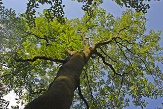 Ailanthus vilmoriniana - Ailanthus vilmoriniana at the Orto Botanico di Brera