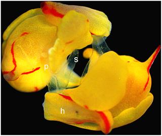<i>Siphopteron quadrispinosum</i> species of Gastropoda