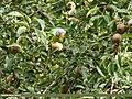 Slaty-headed Parakeet (Psittacula himalayana) (38929772474).jpg
